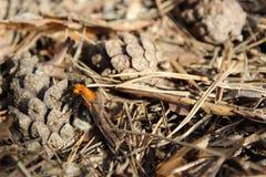 Conos del pino en la tierra en primavera temprana y abejorro despertado imagen de archivo libre de regalías