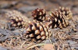 Conos del pino en piso del bosque Fotografía de archivo