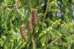 Conos del pino en ramas verdes Fotos de archivo