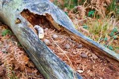 Conos del pino en tronco de árbol fotos de archivo