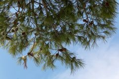 Conos del pino en un árbol de pino, pinus en el jardín Ramas del pino en el fondo del cielo azul Foto de archivo