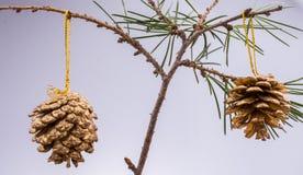 Conos del pino en un brunch del árbol de pino Fotos de archivo libres de regalías