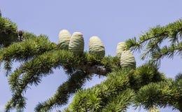 Rama de los conos del pino Imágenes de archivo libres de regalías