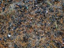 Conos del pino en una arboleda en agujas caidas secas fotografía de archivo