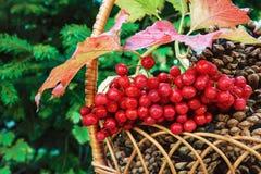 Conos del pino en una cesta con el racimo de guelder color de rosa y de fondo de la conífera Fotos de archivo libres de regalías