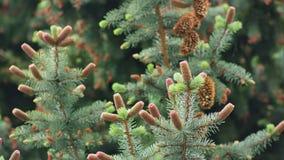 Conos del pino en una rama del pino Imagen de archivo