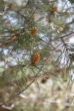 Conos del pino en una rama de un árbol de pino Fotos de archivo libres de regalías