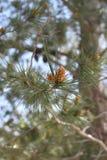 Conos del pino en una rama de un árbol de pino Imagen de archivo
