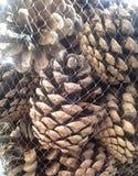 Conos del pino en una red Fotografía de archivo