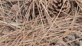 Conos del pino entre agujas caidas en el piso del bosque almacen de video