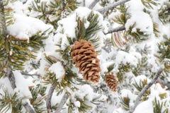 conos del pino del invierno con nieve Fotografía de archivo libre de regalías