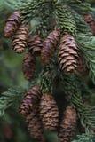 Conos del pino que cuelgan en el árbol Imagenes de archivo