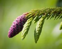 Conos del pino rojo Foto de archivo libre de regalías