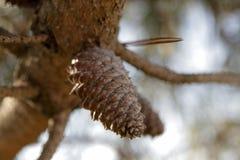 Conos del pino y árbol de pino Fotos de archivo
