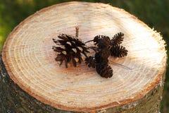 Conos del pino y del aliso en tocón de madera en jardín el día soleado Imágenes de archivo libres de regalías