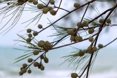 Conos del pino y hojas de la aguja del pino en el árbol de pino Foto de archivo libre de regalías