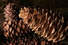 Conos del pino y nueces de pino secas del cedro Imagen de archivo