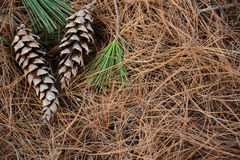 Conos en agujas del pino en un cierre del bosque para arriba Fotografía de archivo