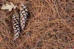 Conos en agujas del pino en un cierre del bosque para arriba Fotografía de archivo libre de regalías