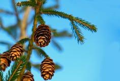 Conos en el árbol de navidad Fotografía de archivo libre de regalías