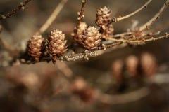 Conos en el fondo de madera de la naturaleza de la rama hecho con los filtros de color retros Foto de archivo