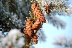 Conos en invierno Foto de archivo libre de regalías