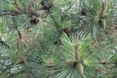 Conos en rama entre agujas Macro del árbol del Año Nuevo Imagen de archivo libre de regalías