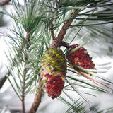 Conos en un árbol de pino con nieve e hielo Fotografía de archivo