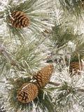 Conos escarchados del pino Fotos de archivo