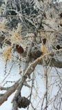 Conos escarchados del pino Fotografía de archivo