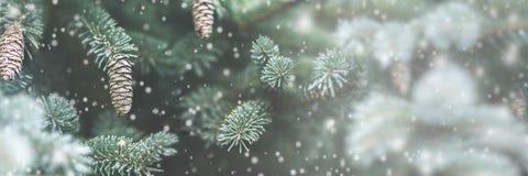 Conos escarchados del pino foto de archivo libre de regalías