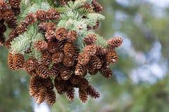 Conos frescos del pino Imagen de archivo libre de regalías