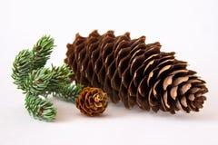 Conos grandes y pequeños del pino con la ramita del pino Foto de archivo libre de regalías