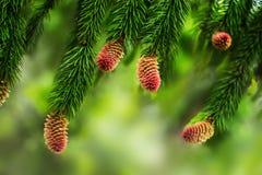 Conos jovenes del pino en las ramas de un árbol de pino Fondo borroso natural con la planta conífera en la estación de primavera fotos de archivo libres de regalías