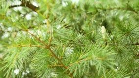 Conos jovenes del verde del pino en el bosque en la estación de verano Fotografía de archivo libre de regalías