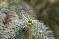 Conos macros de la araucaria Rama conífera verde Árbol del rompecabezas de mono Pino chileno Imagen de archivo libre de regalías
