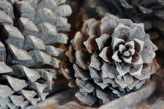 Conos macros del pino Imagen de archivo