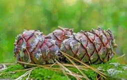 Conos maduros grandes del sibÃrica siberiano de PÃnus del pino en musgo verde del bosque, Fotografía de archivo libre de regalías