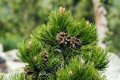Conos marrones hermosos en árbol Foto de archivo