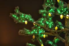 Conos que brillan intensamente en ramas spruce imagenes de archivo