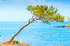 Conos raros del pino en una roca por el mar Foto de archivo libre de regalías
