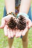 Conos secos del pino Foto de archivo libre de regalías