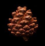 Conos secos del pino Imagen de archivo libre de regalías