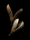 Conos secos del pino Fotografía de archivo libre de regalías