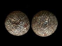 Conos secos del pino Imagenes de archivo