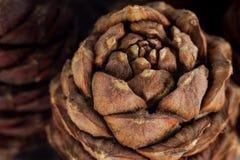 Conos siberianos del pino Fotos de archivo