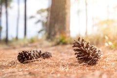 Conos suaves del pino del foco en bosque en el backgroun de la hoja de los conos del pino Fotografía de archivo
