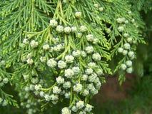 Conos verdes Imagen de archivo libre de regalías