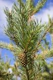 Conos verdes del bedikah del pino árbol, pinecone, naturaleza Foto de archivo