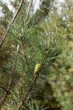 Conos verdes del bedikah del pino árbol, pinecone, naturaleza Imágenes de archivo libres de regalías